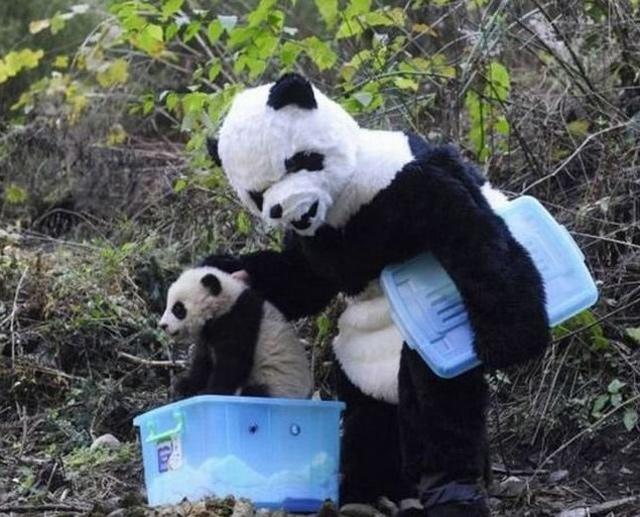 baby-panda-0522