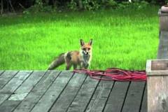 fox-sound