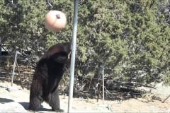Tetherball Bear