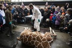 giraffe-kill