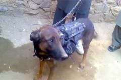 taliban-dog