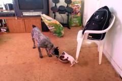 Tiny-dog-vs-big-dog-whos-the-boss