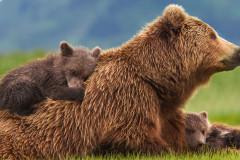 bears-03