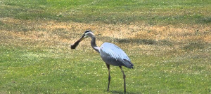 heron-gopher