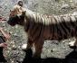 tiger-stare
