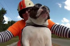 Sweets-the-English-Bulldog-sees-a-biker-wave-at-us-and-she-waves-back-ALL-ON-HER-OWN