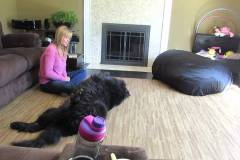 Newfoundland-dog-demands-a-belly-rub