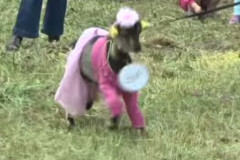 goat pageant