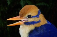 sfw_kingfisher-head_p9141840