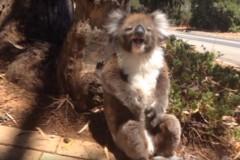 koala-cry