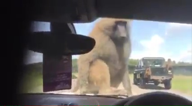 monkey-boner-sex-at-zoo-02
