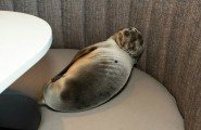 seal-pup-sleep