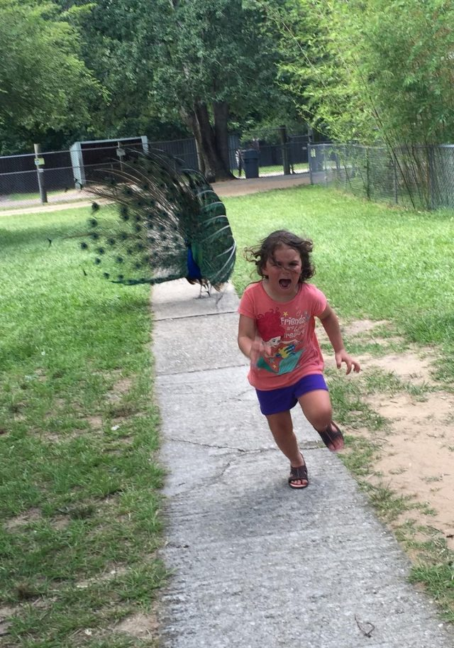 girl running from peacock 640x913 little girl terrified of a peacock is the hot new meme the blemish