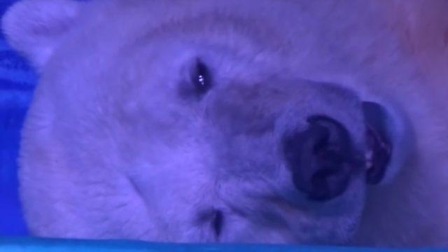 sad polar bear in china