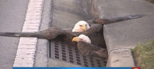 bald-eagle-sewer