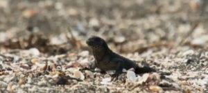 iguana-snakes