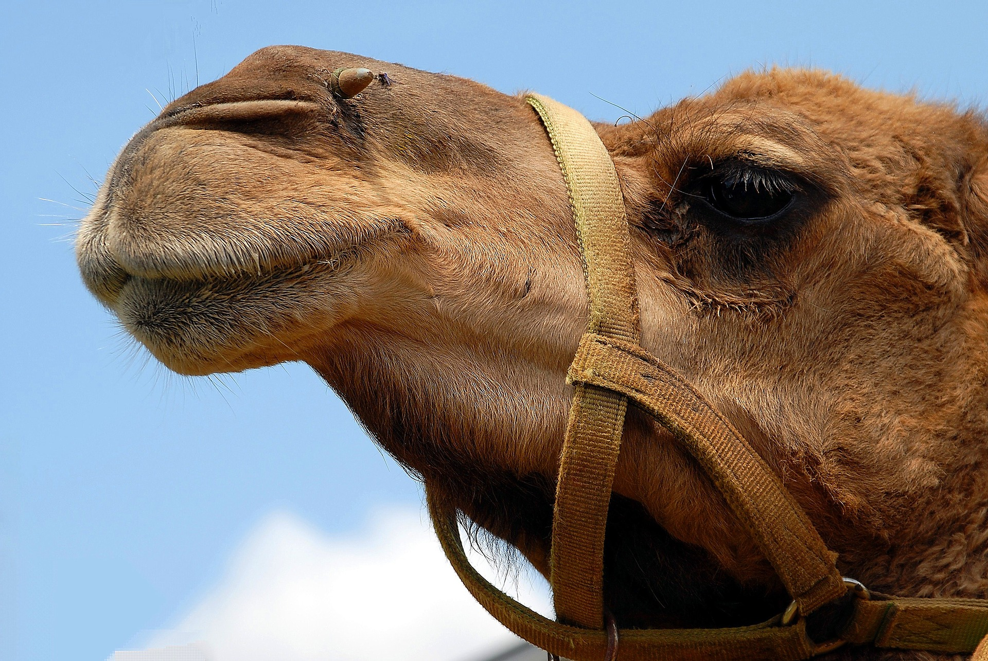 Camel disqualified from Saudi beauty contest for using Botox